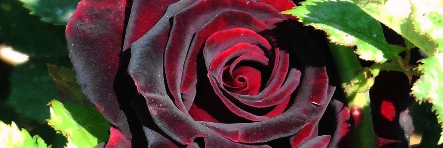 Бордовая роза от Aniroses.by